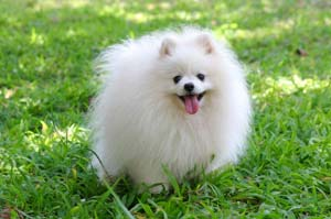 38 Cute Pomeranian Names For Adorable Poms