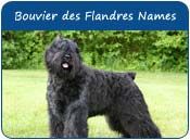 Bouvier des Flandres Dog Names