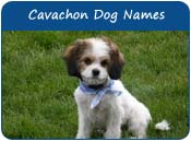 Cavachon Dog Names
