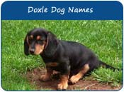 Doxle Dog Names