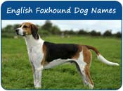 English Foxhound Dog Names