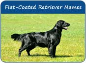Flat-Coated Retriever Dog Names