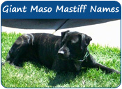 Giant Maso Mastiff Dog Names