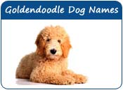 Goldendoodle Dog Names