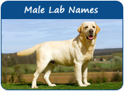 Male Lab Names