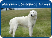 Maremma Sheepdog Dog Names