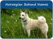 Norwegian Buhund Dog Names