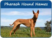 Pharaoh Hound Dog Names