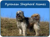 Pyrenean Shepherd Dog Names