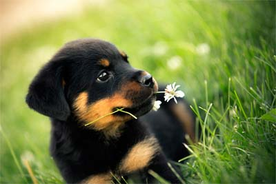 Great Rottweiler Dog Names For Your Choices
