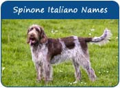 Spinone Italiano Dog Names