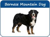 Bernese Mountain Dog Names