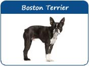 Boston Terrier Dog Names