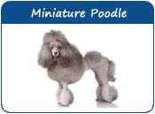 Miniature Poodle Names